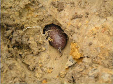 Egg Cocoon In Soil Chamber