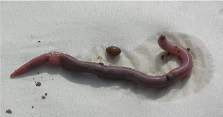 Adult Introduced Worm (Note Swollen Clitellum) And Egg Cocoon.